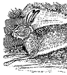 the English hare