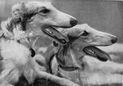 Borzoi pair resting after a run